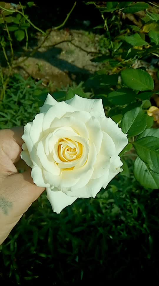 white rose🌹