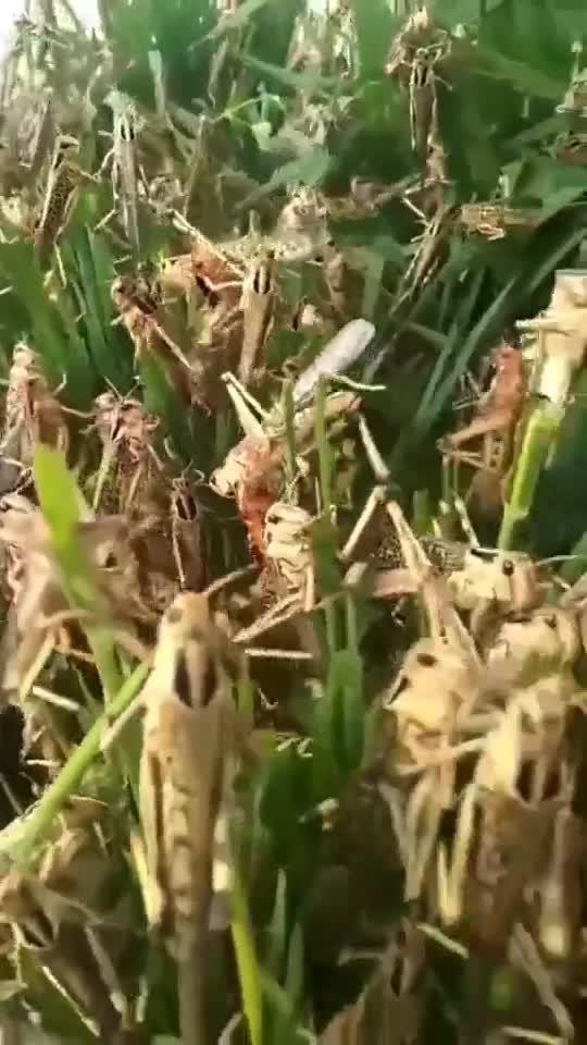 फसलों पर टिड्डियों का कहर