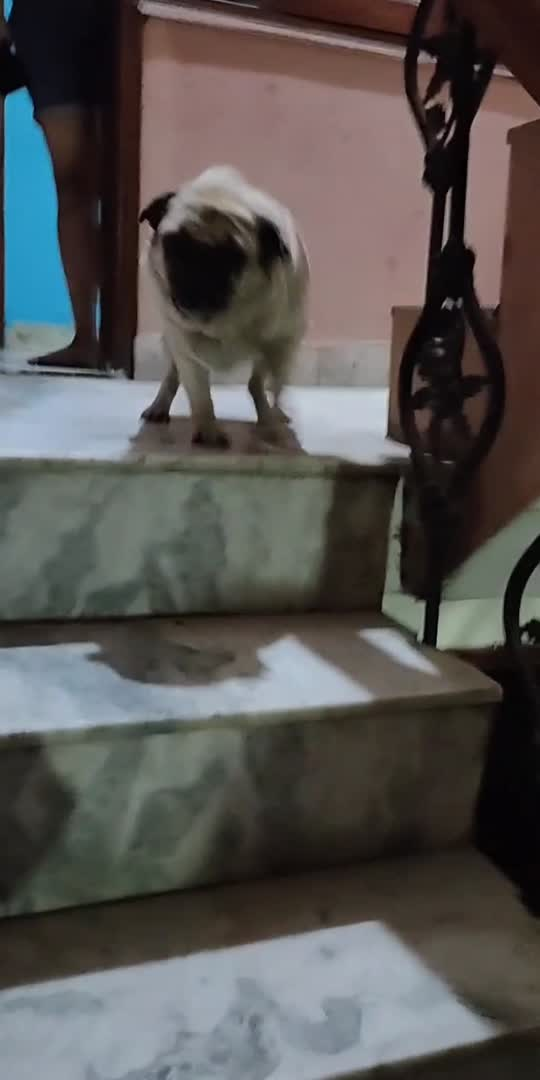 when your dog is waiting for you at Home!!! #mydog #pugazh #pug #doglover #petlove #baby #roposoindia #roposostar
