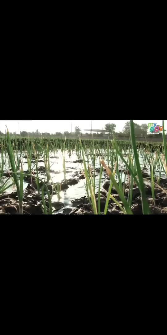 चंदौली के किसानों के लिए सोना बना काला चावल #aatmanirbharkrishi #transformingindia