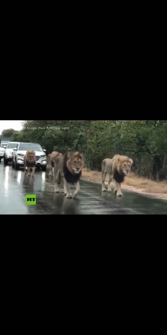 சிங்கம் ரோட்ல நடந்து போகுது...... #விளங்கு #Animals #viral #virulvideo #wow-nice-view #thrilling #cutevideo #sence #lionking #lion #trending #todaytrending #trendingvideo